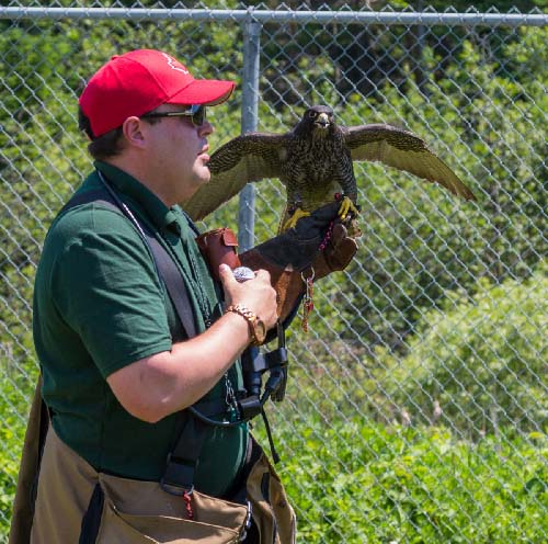 Celebrating Canada Day during FunFest 2019: Falconry demonstration